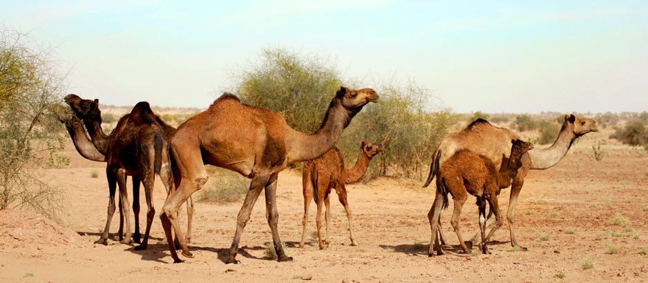 National-Research-Centre-on-Camel rajasthani-tadka