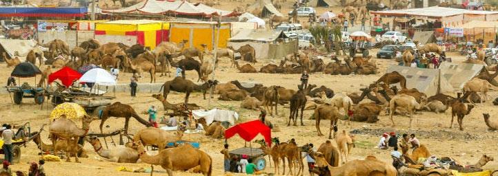 Nagaur-Fair-rajasthani-tadka. 1